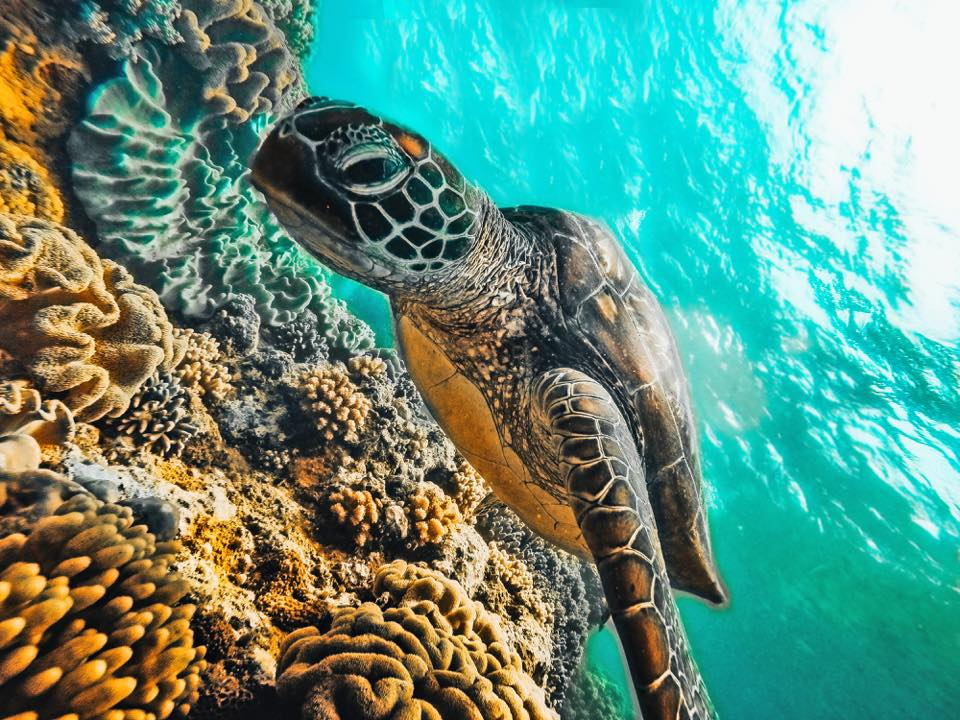 Turtle in Apo Island | best things to do in the Philippines