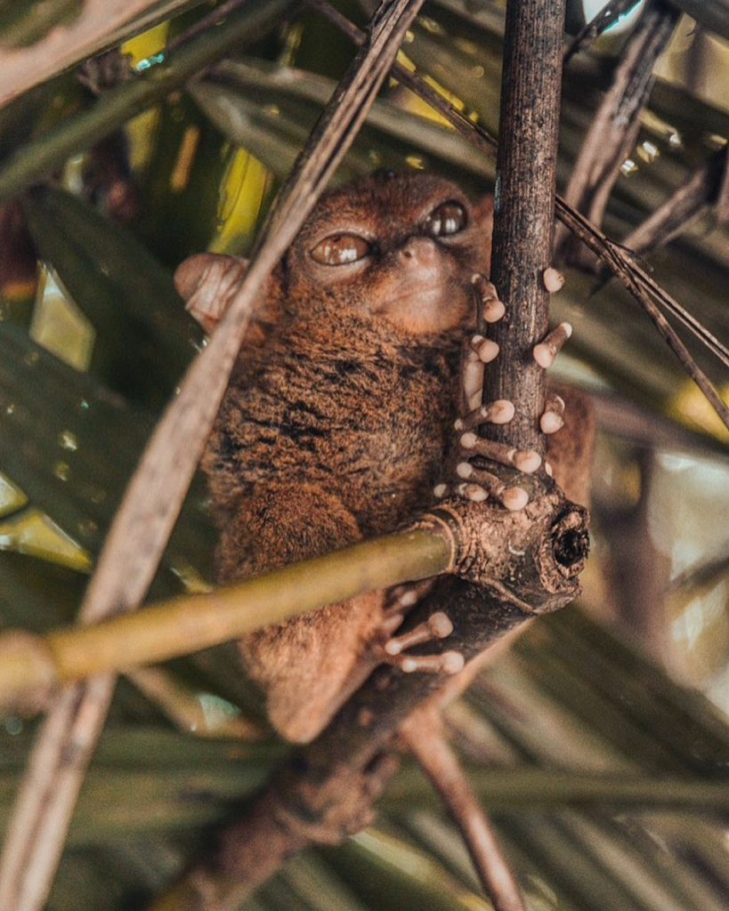 A Tarsier is sitting in a tree