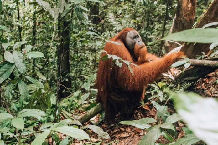 Bukit Lawang Guide: Orangutan in the jungle
