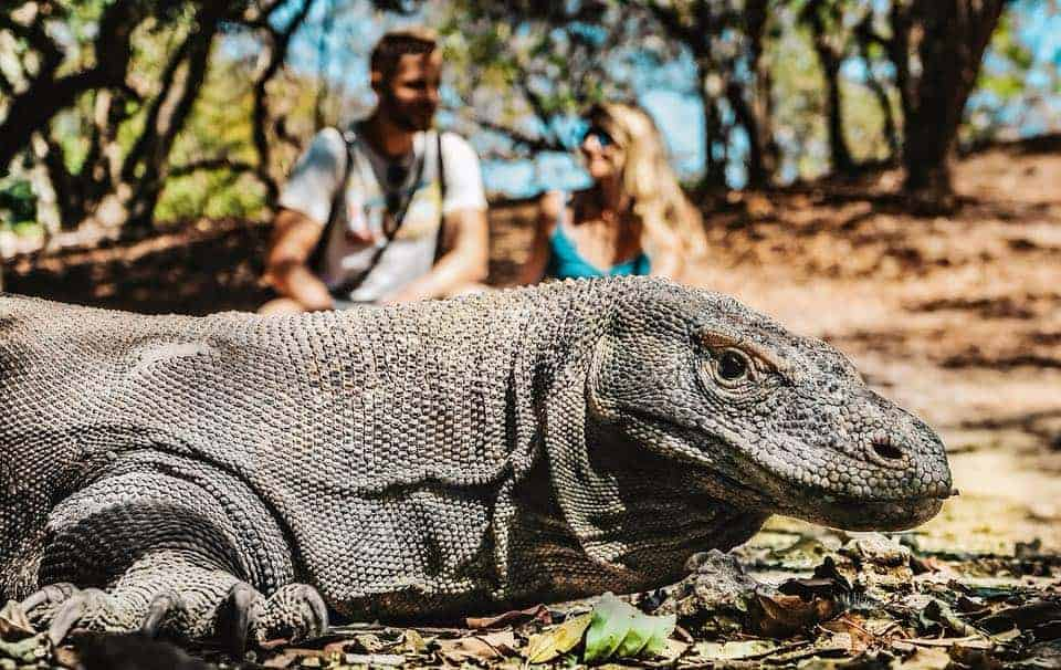 Flores Guide: Komodo dragon