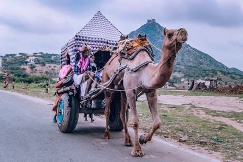 Pushkar Guide: Camel wavon with passangers.