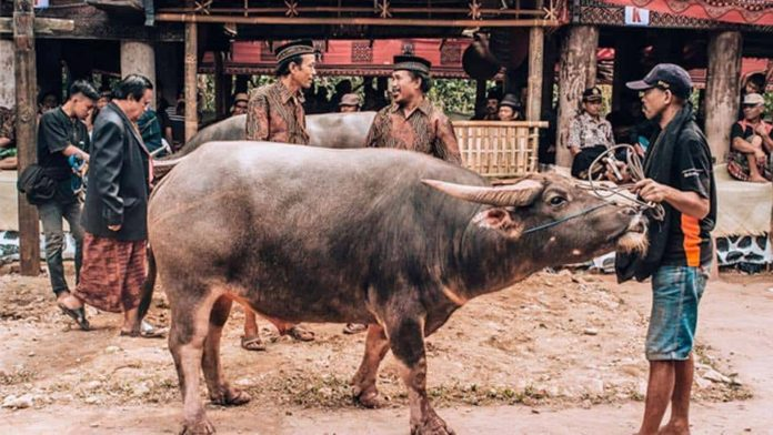 Tana Toraja Guide: a waterbuffle is waiting for the slaughter ceremony